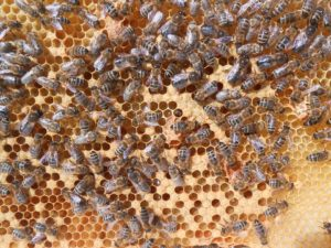 Honey Bees Royal Jelly